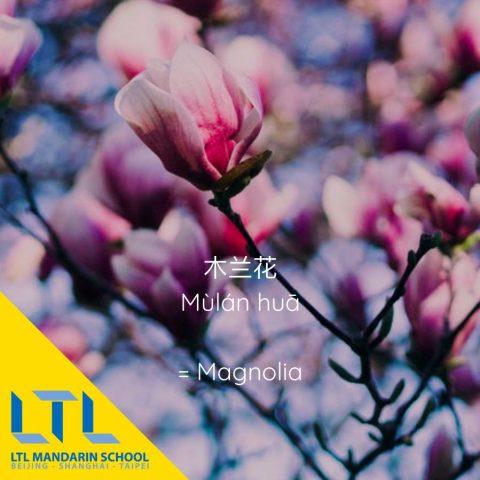 Çince Çiçek - Manolya