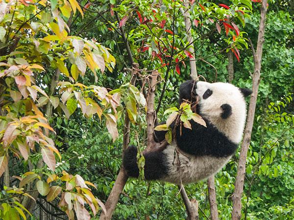 Panda Araştırma Merkezi